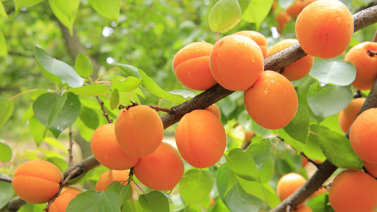 apricottrees