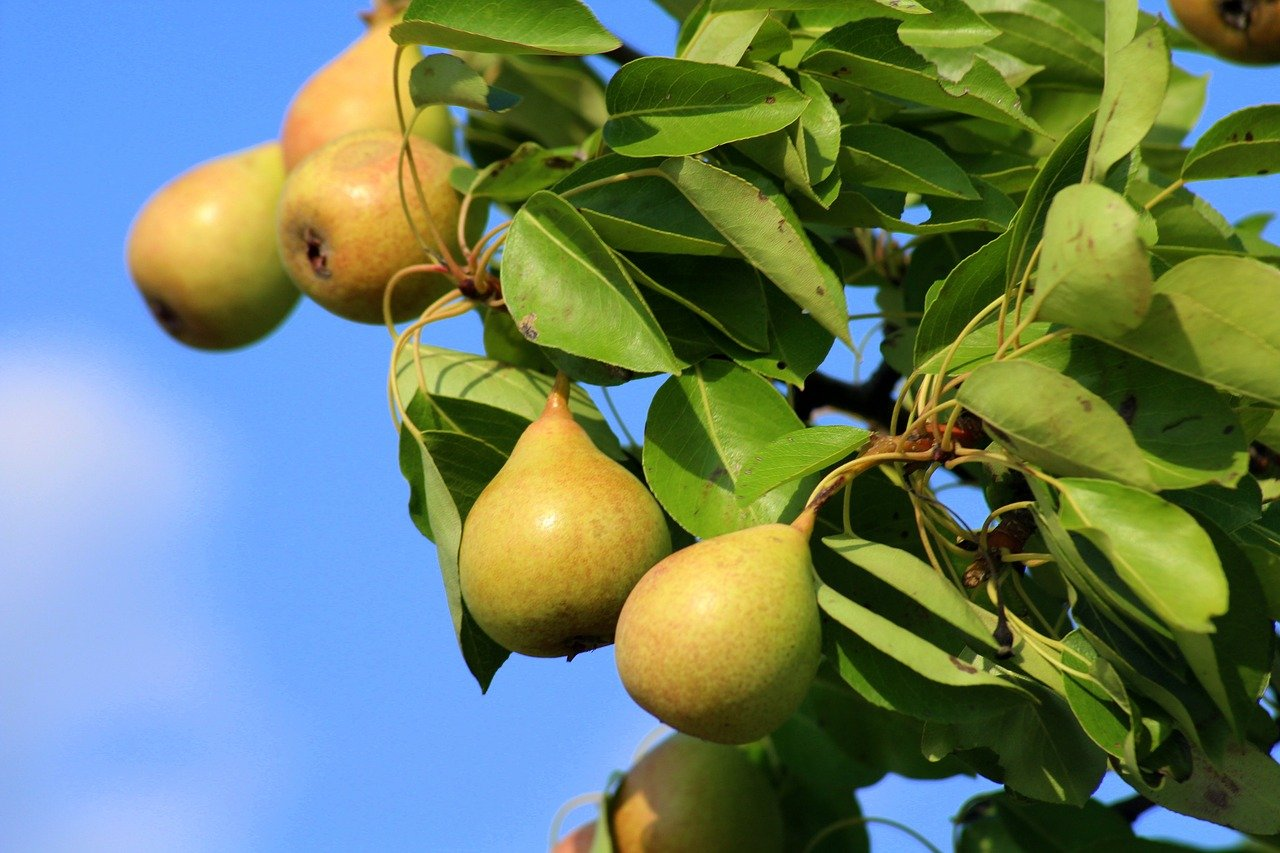 peartrees