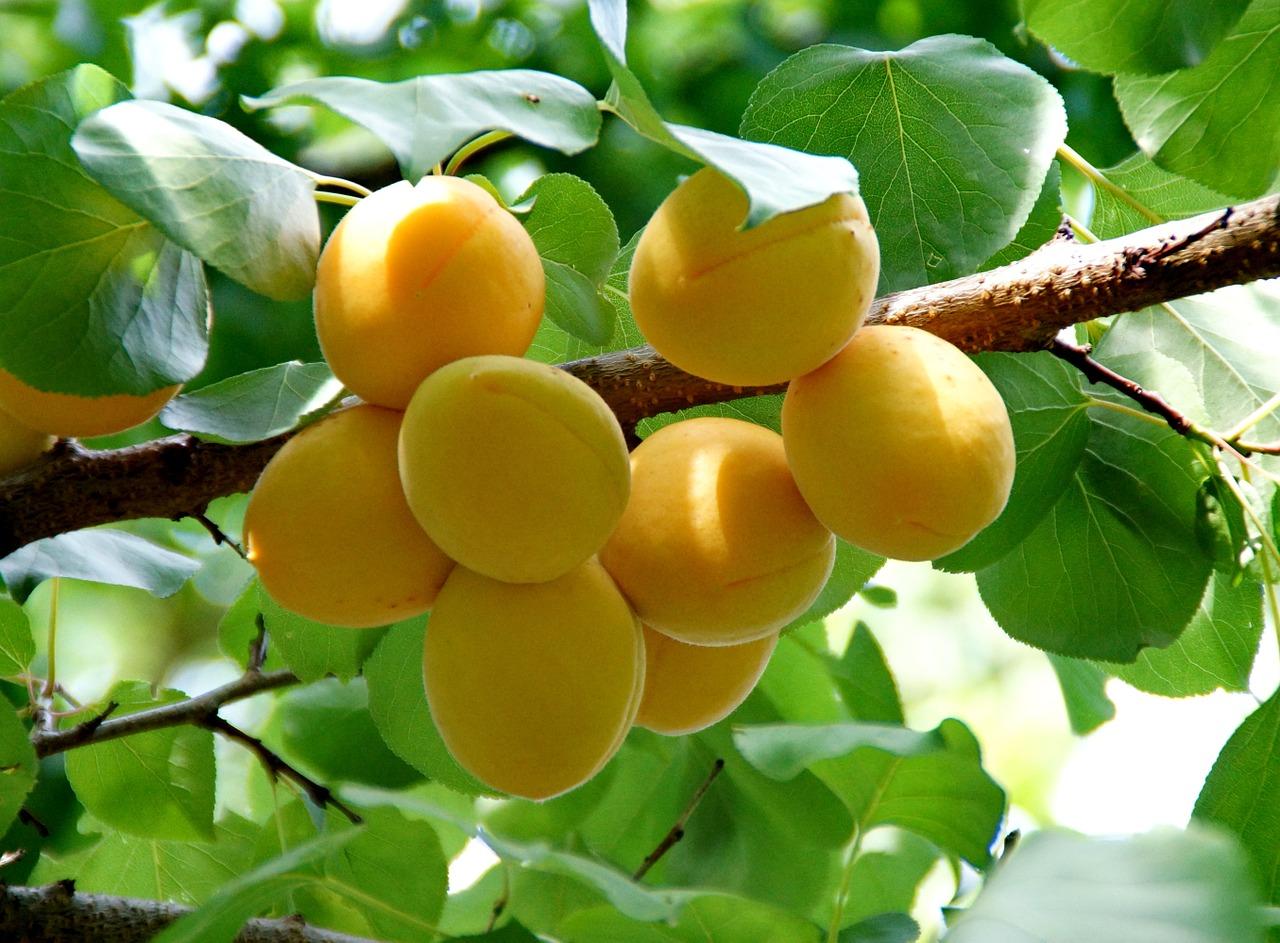 orchardtreesordwarftrees