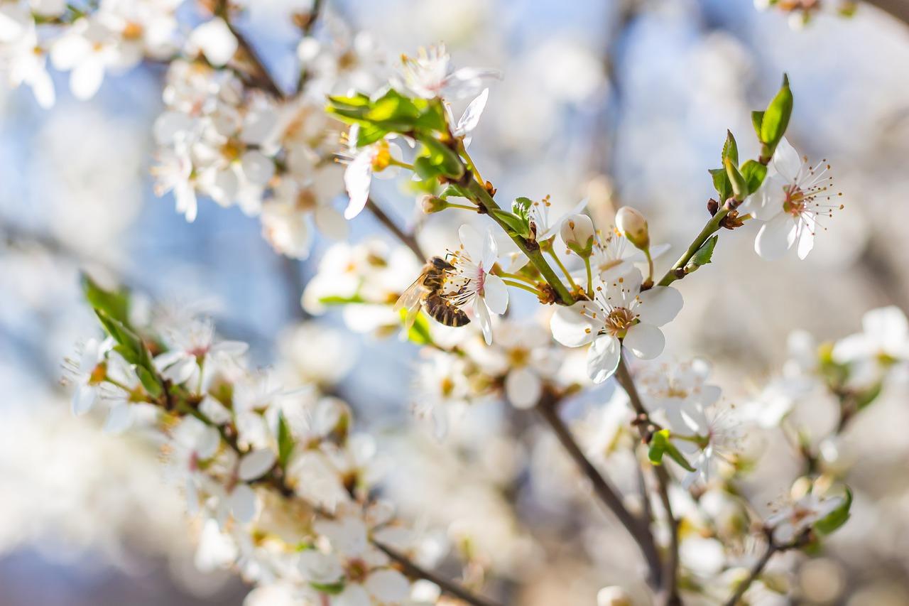 essentialtipsforgrowingyourvictoriaplumtrees