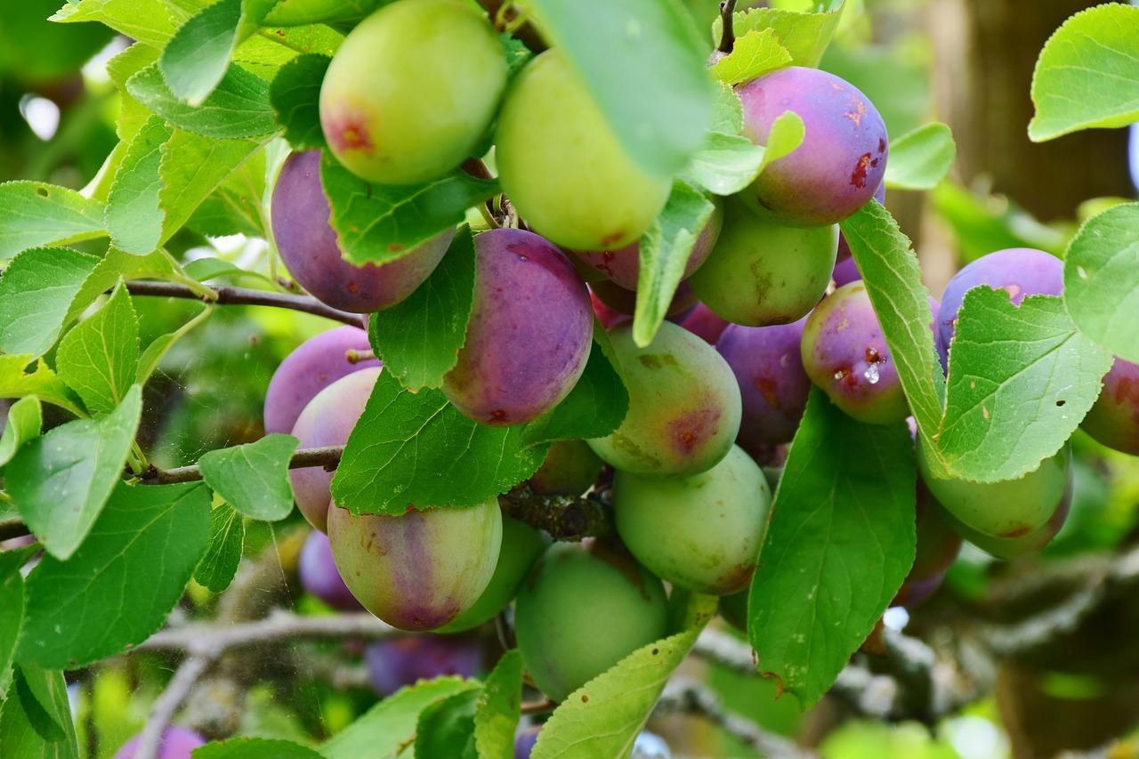 howtoplantandgrowavictoriaplumtree