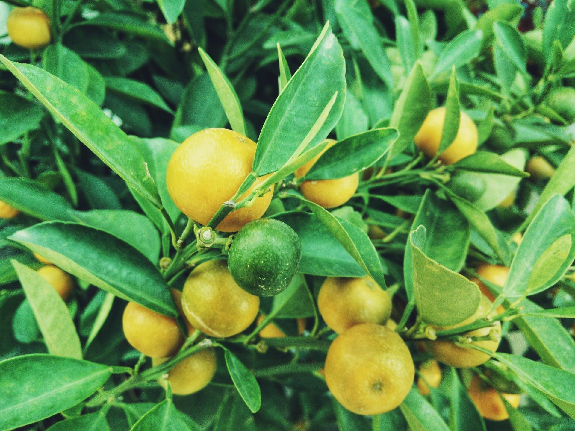 lemons1149003_1920
