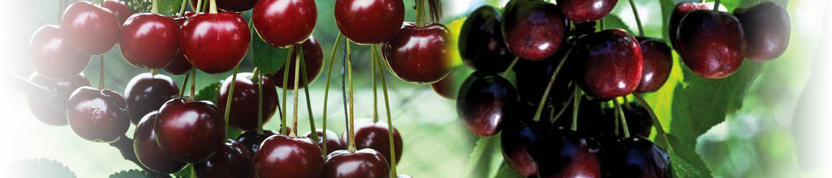 Morello cherry fan tree