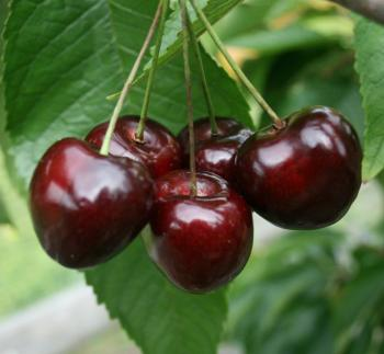Buy Stella Dwarf Gisele Cherry Tree Online Crj Fruit Trees