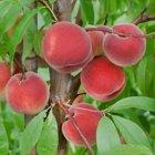 Amsden June peach trees