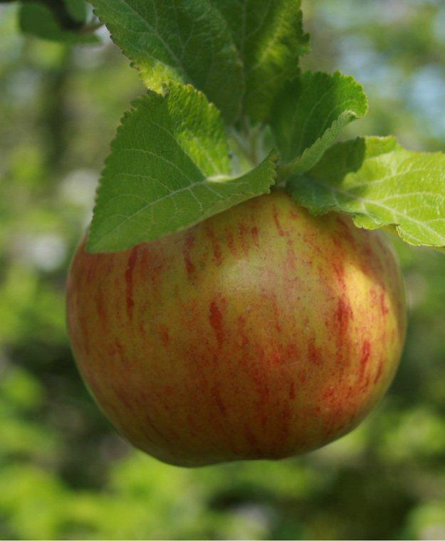 Falstaff Cordon apple tree