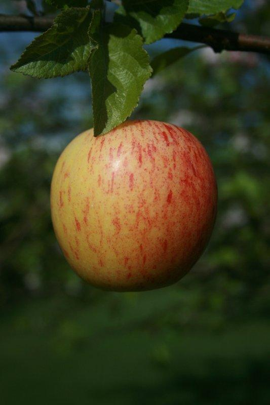 Gala cordon apple tree