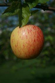 Gala miniature M27 apple