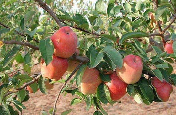 George Cave apple trees