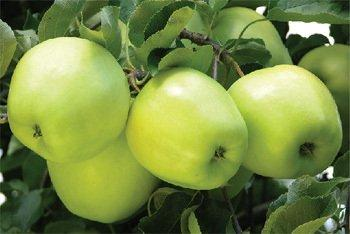 Golden Delicious cordon tree