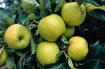 Greensleeves cordon apple tree
