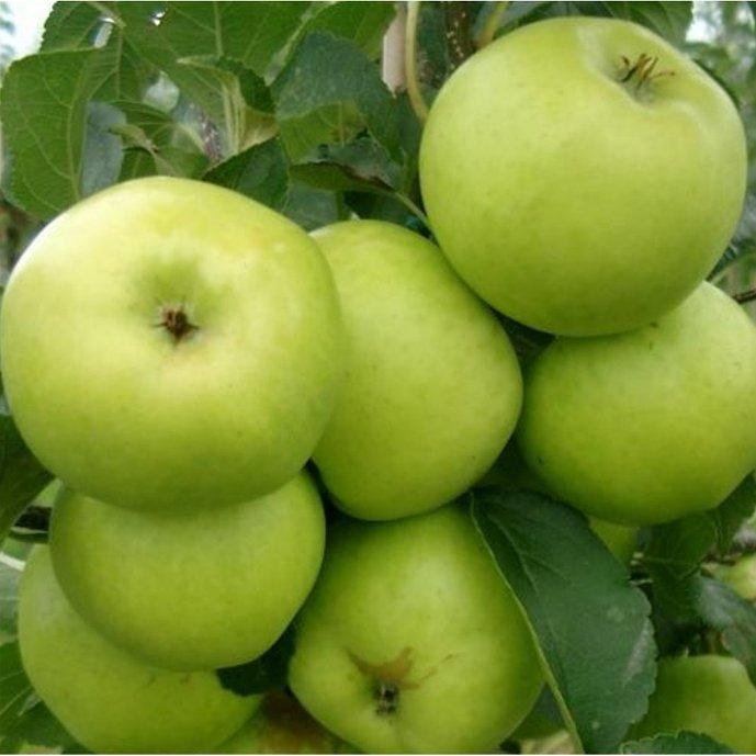 Grenadier cordon apple tree