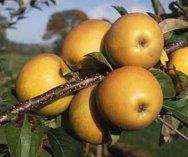 Herefordshire Russet Apple stepover