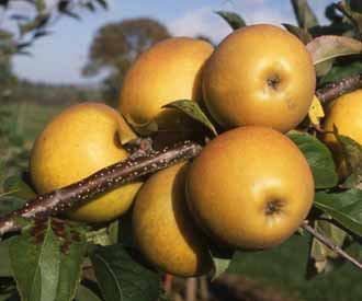 Herefordshire Russet apple trees