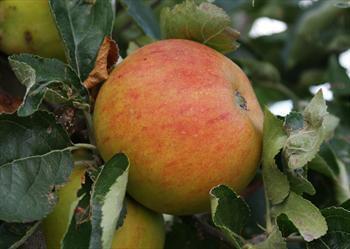 Holstein Apple trees