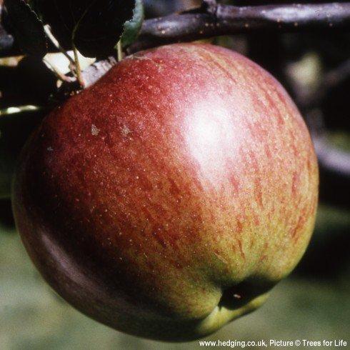 Howgate Wonder apple trees