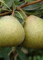 Josephine de Malines dwarf Pear
