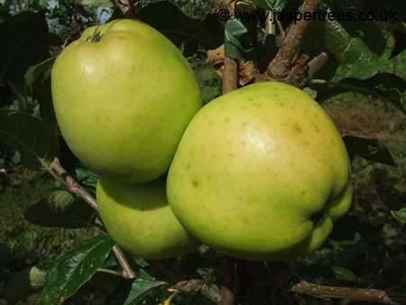 Keswick Codlin apple tree