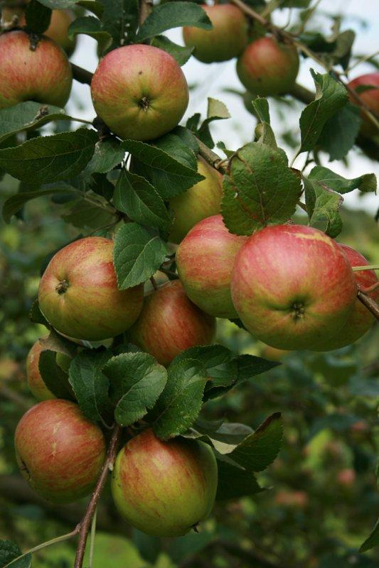 King of the Pippins apple trees