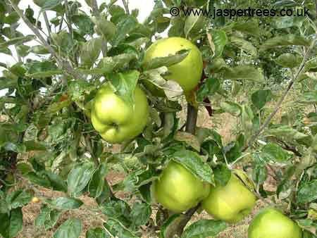 Lord Derby apple tree
