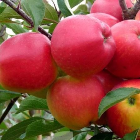 Meridian Apple trees