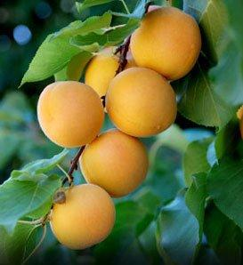 Moorpark fan apricot tree