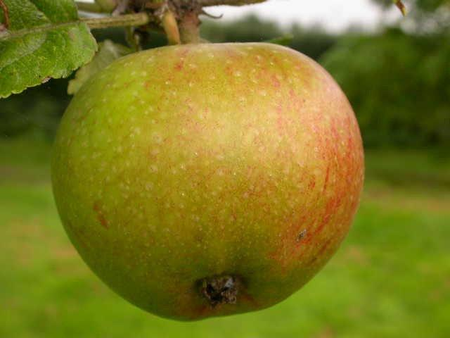 Newton Wonder apple tree