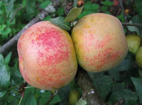 Orelans Reinette apple trees