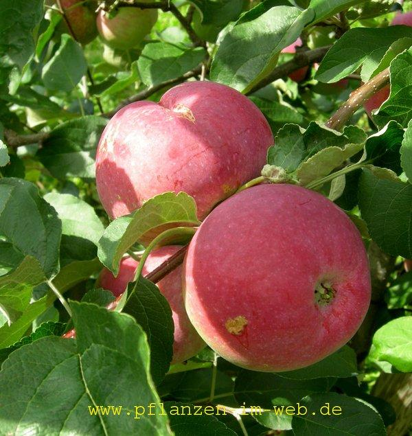 Paulared apple tree