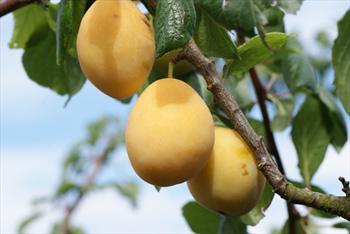 Yellow Pershore Plum tree