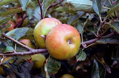Pixie cordon apple