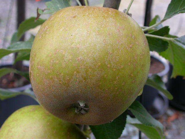 Princesse apple tree