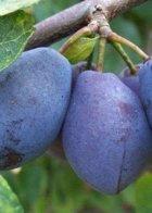 Purple Pershore Plum trees