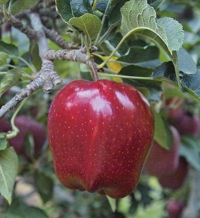 Red Delicious cordon apple trees