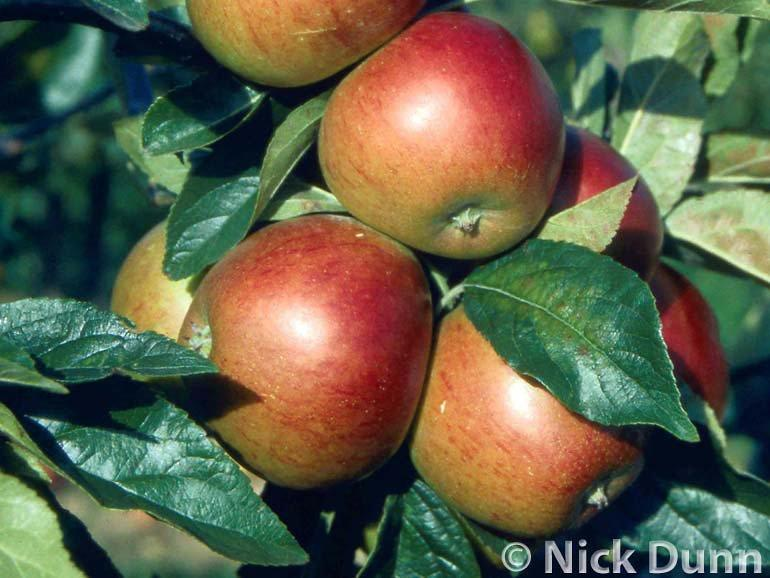 Red Pippin apple trees