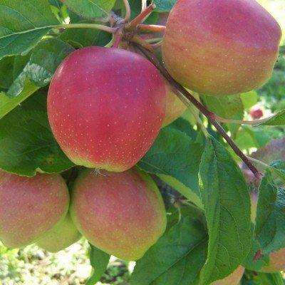 Saturn apple fan espalier