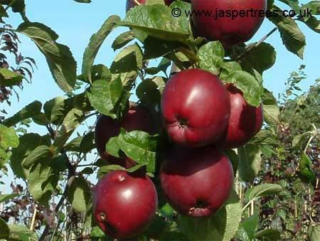 Spartan apple trees