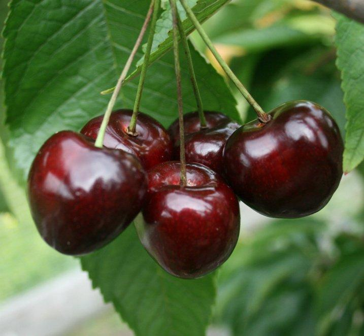 Stella dwarf Gisele cherry tree
