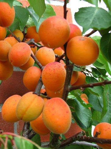 Tros Orange apricot trees