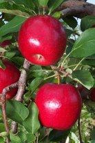 Vistabella apple tree