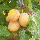Warwickshire Drooper plum tree