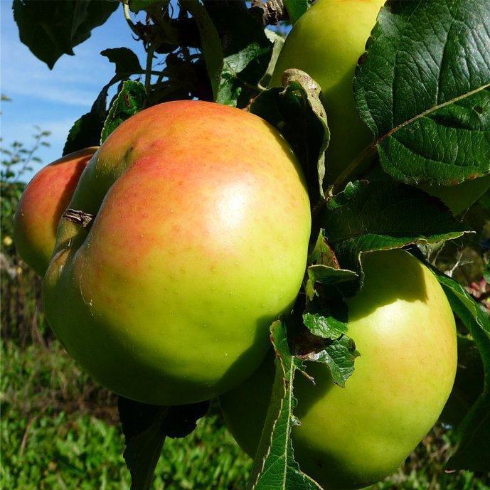 Wellington apple tree