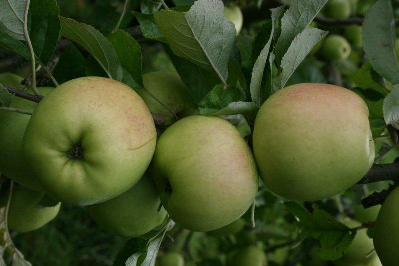 White Melrose apple tree