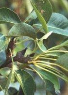 Winter Nellis cordon pear
