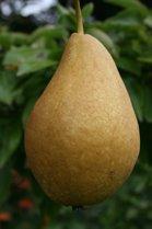 Concorde Pear tree