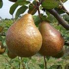 Durondeau Pear trees
