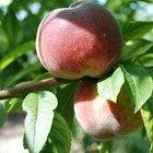 Early Rivers Peach tree