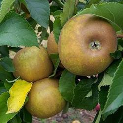 Egemont Russet apple tree