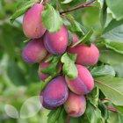 Excalibur Plum trees