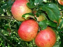 Fortune apple tree